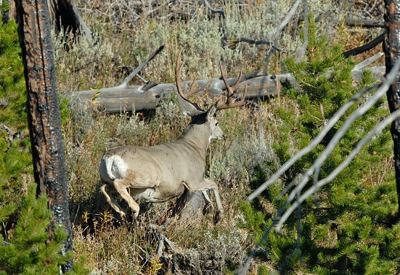 MULE DEER JUMPING LOG, YELLOWSTONE N.P., WYOMING