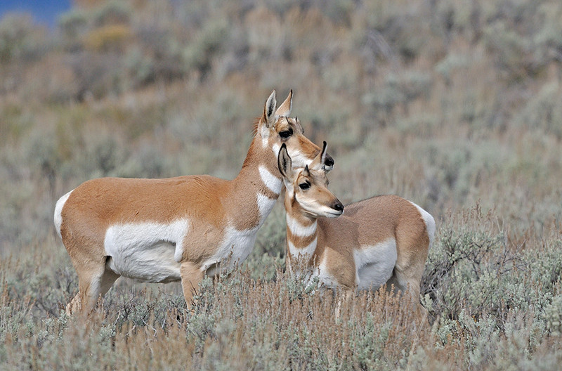 ANTELOPE DOE AND YEARLING BUCK, GRAND TETON NATIONAL PARK, WYOMING