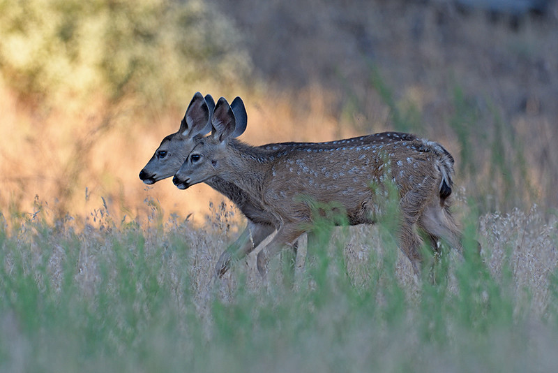 SPOTTED MULE DEER FAWNS, CUYAMACA STATE PARK, CALIFORNIA