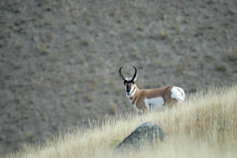 PRONGHORN ANTELOPE, YELLOWSTONE N.P.