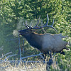 BULL ELK BUGLEING, YELLOWSTONE N.P., WYOMING