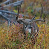 MULE DEER, BLACKTAIL PLATEAU DRIVE, YELLOWSTONE N.P.
