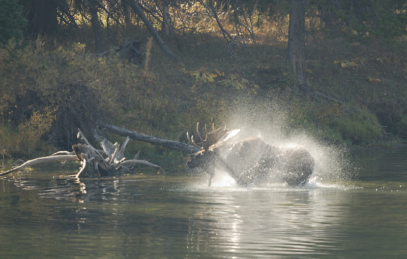 BULL MOOSE SHAKING OFF WATER AFTER CROSSING SNAKE RIVER, GRAND TETON N.P., WYOMING