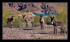 Wild burros along Colorado River