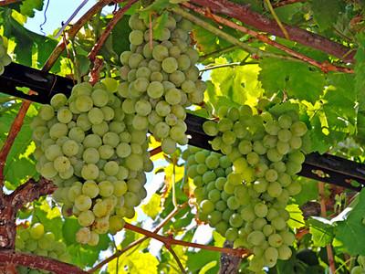 Wine grapes of Chardonnay type in te vineyard
