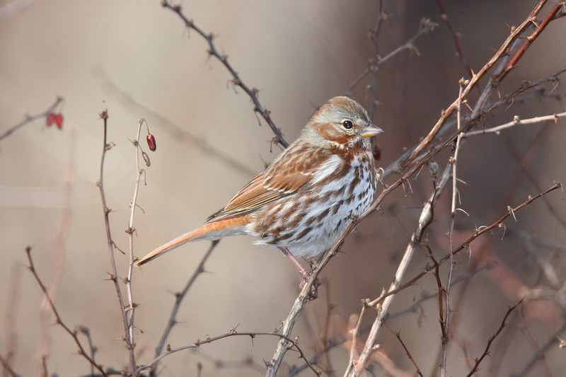 fox sparrow img_6520 parsippany troy meadows