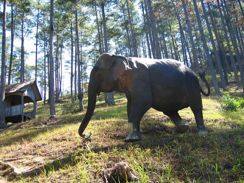 elephant in the woods on a hike outside da lat... it's tame.