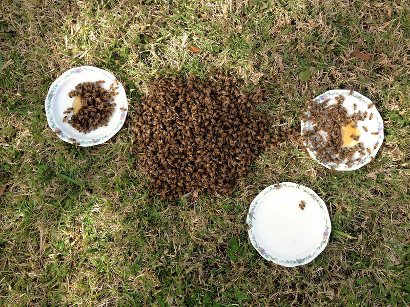 Pile of bees on ground with feeding stations.