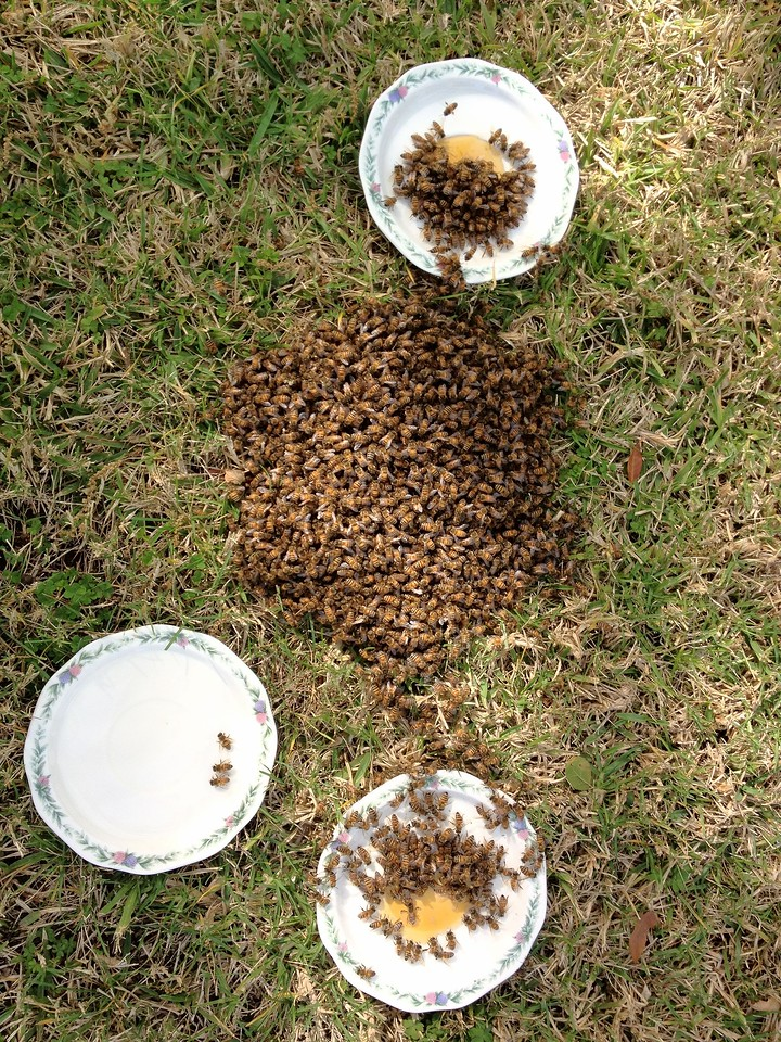 Bees on ground with feeding stations