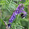 Tufted Vetch and Buff Tailed bumblebee???