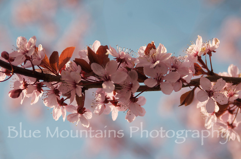 After a long, cold and rainy spring, Cherry trees are finally in bloom two weeks ago in Langley, Whidbey Island WA.