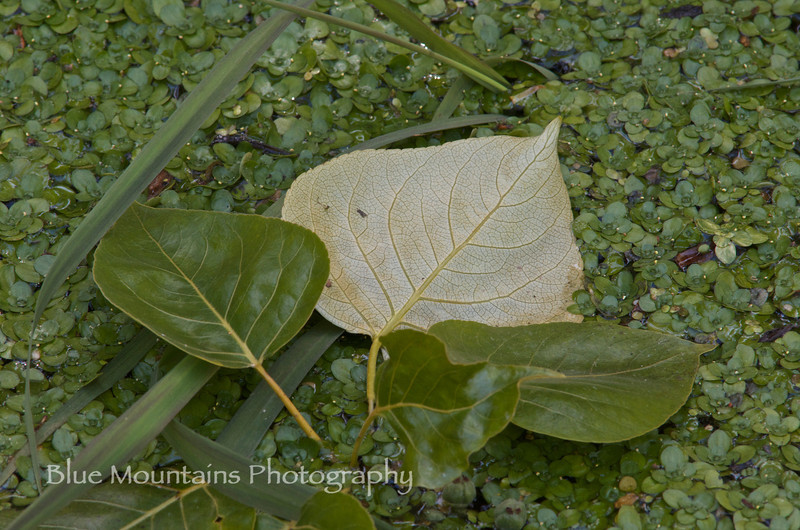 "5/14/12.  Cottonwood leaf floating on duckweed.  Came across a large floating mat of duckweed (Lemna app) along the Yakima River this weekend - dappled sunlight made it look as if you could walk across this deceptively solid carpet.  Black cottonwood (Populus balsamifera ssp trichocarpa) emits the most delightful sweet perfume from the resin it exudes, maybe signaling its important medicinal properties.  Local tribes used it as an antibacterial salve and for other treating other maladies such as sore throats.  Bees use the resin to prevent decay in their hives and seal out intruders.  We did see a lot of bees along this stretch of trail which had many cottonwoods; maybe this association helps prevent against the ""hive collapse"" epidemic we are seeing in agricultural areas?<br /> <br /> Thank you for the  many wonderful comments yesterday on the mule ears photo - quite unexpected!"