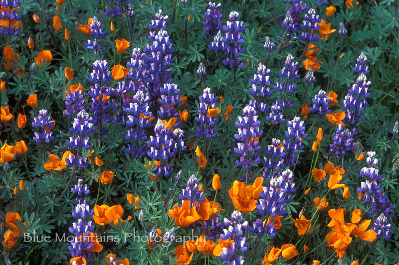 5/19/2012. Field of California poppies and lupines on Figeroa Mountain, Santa Barbara County.