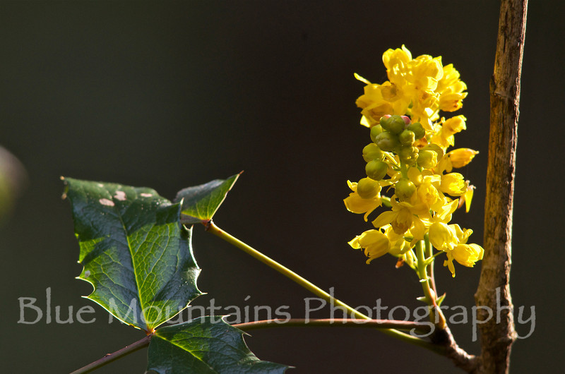 4-13-2012. Another beautiful morning here in Seattle and many of the native shrubs are finally blooming.  This is a shot of Oregon Grape (Berberis sp).  Thank you for your positive comments yesterday on the apple blossom shot.