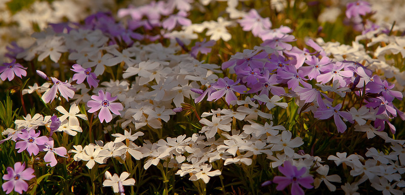 09APR2012<br /> <br /> Field of Phlox...<br /> <br /> Make it a great week! Thanks for looking and your comments.