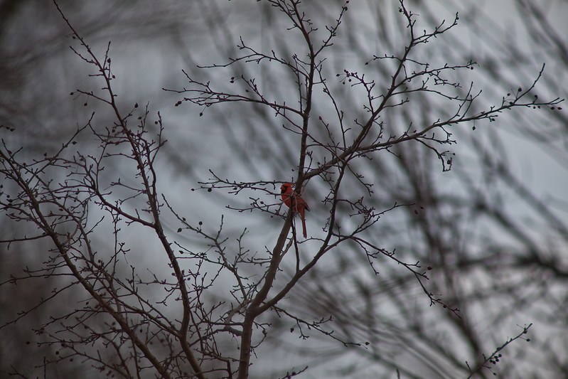 13MAR2012<br /> <br /> Mr. Cardinal...<br /> <br /> I'm 800mm deep in the backyard.....I thought the trees in the background of this shot looked cool, what do you think?<br /> <br /> It's not really about the bird.....or is it?<br /> <br /> I have computer problems causing me to be disconnected from the internet the past few days.....trying to resolve that issue....sorry if I have yet to comment on your image.
