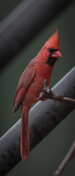 05SEP2012<br /> <br /> Here's Looking At Ya<br /> <br /> Mr. Cardinal out in the back yard.