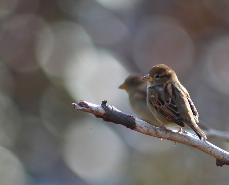 Calm at last. With the hawk gone from the backyard the covey enjoys time to sit and chirp with their buddies. Not a reflection, just another sparrow on a branch behind.