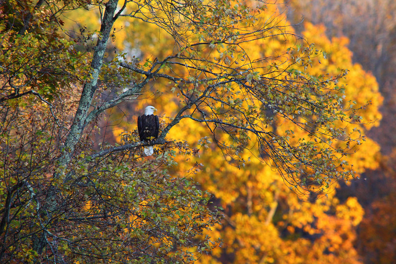 Deep into badger country we are at Mc Clintock falls when i spot this bald eagle 200 yards out. We are as far into the woods as we get on this trip....so i am told. Wisconsin Rustic Road 32 was the best foliage in the whole state hands down, the falls are just a half mile off this road. America the beautifull happens here daily, many miles from civilization this is a must see spot. Traveling almost two thousand miles this trip we saw little wildlife, so when i spotted this eagle i ran to the car and got out the 400mm threw on the 2x converter and got four rounds off before it flew away. Before leaving Nebraska we maped out all the rustic roads of Wisconsin, specifically looking for fall foliage, the state becons with beauty on these roads, we found so many great photography opportunities on these roads we could have stayed for many days....