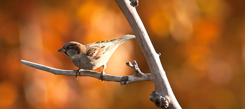 01SEP2012<br /> <br /> Autumn Sparrow