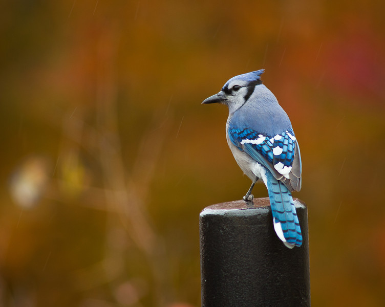 "24OCT2012<br /> <br /> Fall Jay<br /> <br /> Image awarded Honorable Mention in the ""Nature Category"" n4c.us in January 2013, submitted through the Omaha Camera Club.<br /> <br /> Have a great day!"