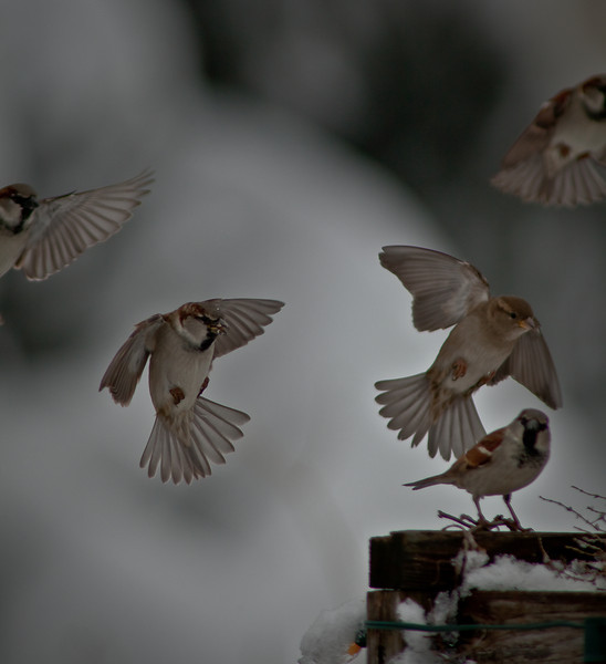 07FEB2012<br /> <br /> Our covey in flight....<br /> <br /> 800mm deep in the backyard the sparrows have all the their food sources covered by the recent snow storm. Our covey lives in the sixty foot blue spruce in my neighbors backyard, we call it the condo, its home to four or five species of bird for the winter months. They anxiously wait for me to throw out the food to them, sometimes they have to remind me so they come up to the sliding glass door and taunt the cat into hitting the glass with her paw.<br /> <br /> Thanks so much for commenting.