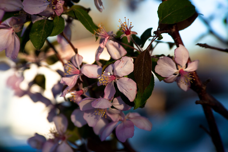 02APR2012<br /> <br /> Crabapple sunset......<br /> <br /> Have a great week....Thanks for all your wonderful comments!