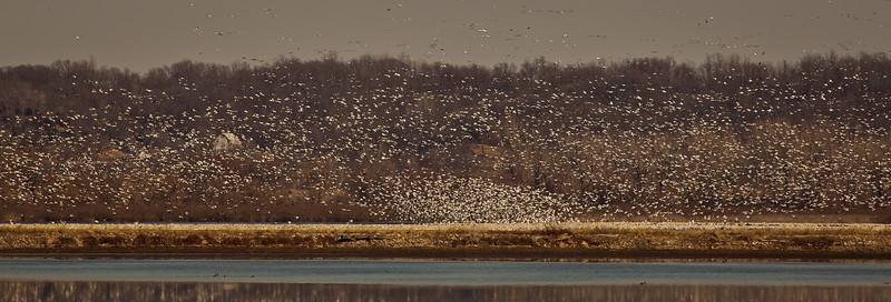 21FEB2012<br /> <br /> Bird Barn....<br /> <br /> The Bluffs in the background highlight just how many birds are out there. This shot was almost a mile from the main pool of the lake which is full of snow geese on saturday about three PM.<br /> <br /> We came back by here yesterday at three PM.....not one, and raining.