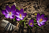 15MAR2012  Spring burst.....Omaha Nebraska  In the eighties today....yea!