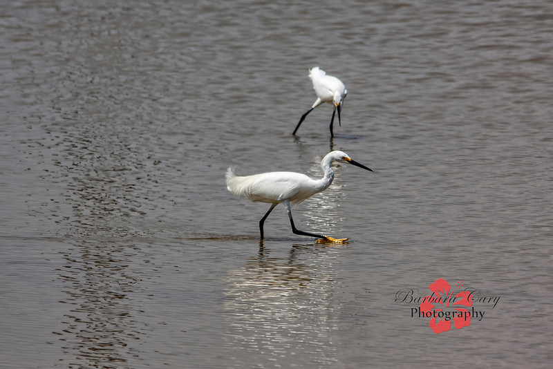 I like the way the two snowy egrets are positioned in relationship  to each other. It is kind of boring color-wise so I used a color watermark. Have a great day!!  8.18.13
