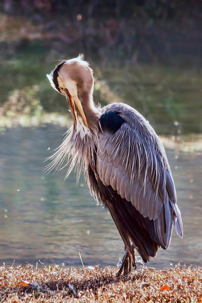 Nothing too exciting today. Saw this great blue heron preening itself by some water in the back of an apartment building. Made a U-turn, parked and got a few nice shots.