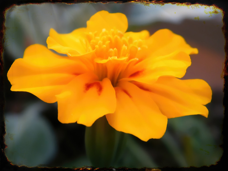 I know this image is soft. I really like it that way.Marigolds have a distinctive fragrance. Some people don't like it, but I do. I plant a lot of them in the springtime and as long as they get a little water now and then they do great. A gardener's dream. 10.9.13