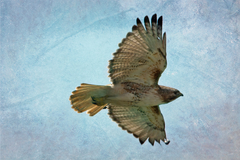 Wednesday was a great birding day for me. I got this shot of  a red-tailed hawk and earlier in the day saw the norther flicker. The sky was pale blue so I added a couple of textures and voile. 4/26/13
