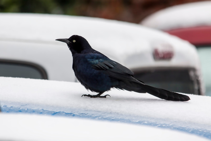 This was taken the day after our big ice storm. It was slick as snot out but the grackles did not seem to mind.