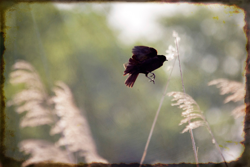 It was a windy day Monday. The tall grass was bucking back and forth and I got lucky here. If I had to guess I would say this is  the moment just before flight. 5.29.13
