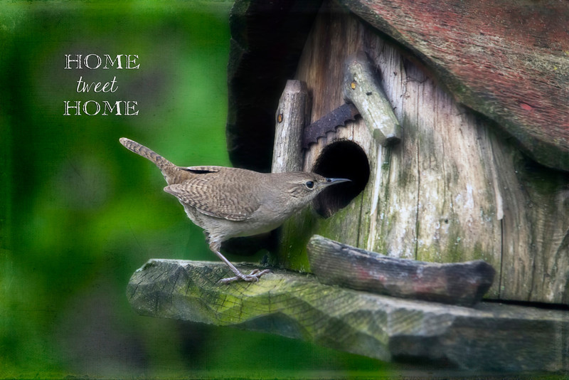 This little house wren has built a nest in this bird house hanging in the back yard. Hope to get some shots of fledging little wrens soon. 5.19.13