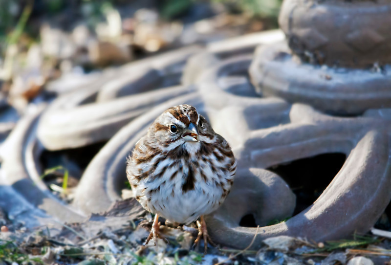 A little song sparrow looking for food in the backyard. How delicate they are yet they are exposed to such severe weather. Nature is truly amazing. 1.17.13