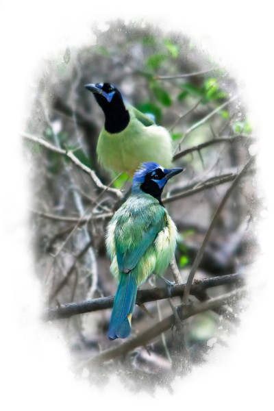 Green jays taken near Mission, Texas Spring 2012. I sure wish I could make another trip this spring, but it's not looking too favorable. I had never seen these birds before and was amazed at their vibrant colors and beauty. 3.14.13