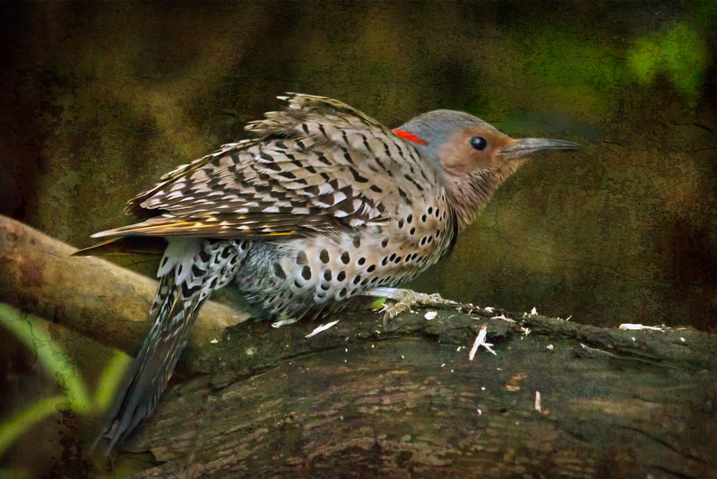 You can imagine how absolutely thrilled I was to be rewarded for sitting out in the cold wet and miserable weather on Wednesday by spotting a norther flicker scavenging around in the underbrush of my backyard. it was working over the old logs I have along the edge of the creek and being rewarded too with an occasional bug of some sort.  You can't really tell by this photo but it was a quite large bird (woodpecker to be exact) and did not seem to be disturbed by the noise of my shutter. Thankfully. Anyway, I hope I haven't overdone the processing here. What do you  think?