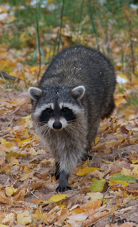 Raccoon Stepping Forward
