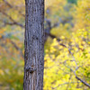 Tree Trunk<br /> A cottonwood during peak fall foliage in Zion national park
