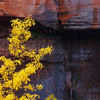 Yellow Autumn, Dark Cliffs<br /> During a snow flurry, I photographed this isolated tree branch in Zion national park.  Full peak-color yellow leaves stand out against the black and red cliffs of Zion Canyon