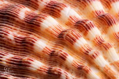 Lions Paw seashell close up of the beautiful rough lines and stripes.