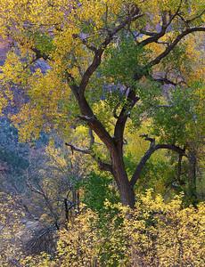 Glory Tree Zion Park