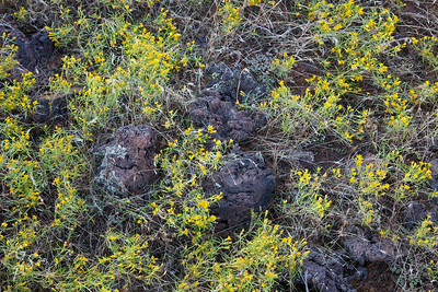 The Sharp and the Soft yellow flowers form a net of color over lava rocks in Snow Canyon state park