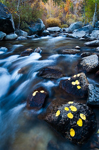 11/17.  Aspen Leaves Fall Down by The Creek.  I found this group of fall leaves down on the rocks in the creek bed.  The water rushing by and the fall colors made this just a perfect place to hang out.  They had to pull me away or I would have been here for hours!  0768  This can be seen in my Fall Colors gallery here:  http://www.jharrisonphoto.com/Landscapes/Eastern-Sierra-Fall-Colors/10149163_Y2dvm