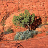 Sunning Tree<br /> Utah Juniper growing from the cracks in sandstone.  The morning sunshine gave a nice dark shadow against the sandstone wall.
