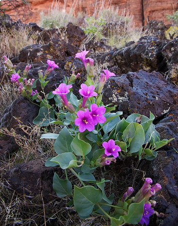 Desert Four O'clock is the name of this beautiful purple flower I discovered amidst the lava rock.