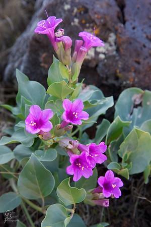 Desert Four O'clock Closeup I discovered this beautiful purple flower amidst the lava rock.