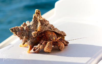 Hermit Crab in Conch Shell
